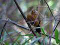 [野鳥]藪からガビチョウ