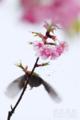 [植物][花&メジロ]雨桜