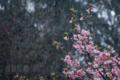 [風景][桜]霙桜