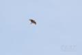 [野鳥][飛翔]ヒバリのさえずり