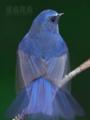 [野鳥]ルリビタキ青の残像