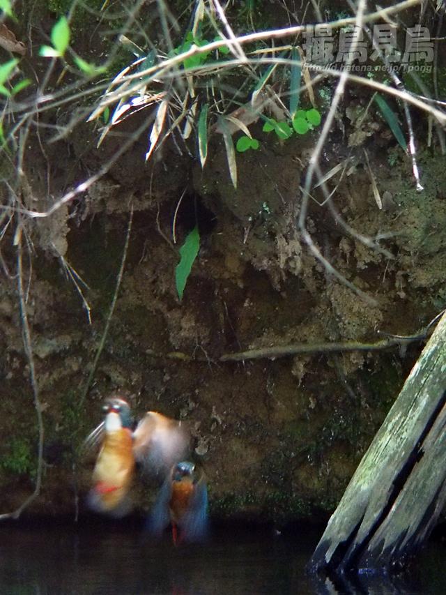 カワセミ営巣