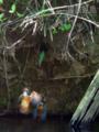 [野鳥]カワセミ営巣