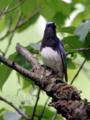 [野鳥]初夏を歌うオオルリ♂