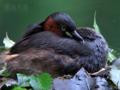 [野鳥]カイツブリ抱卵