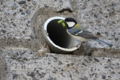 [野鳥]排水穴に巣をかけたシジュウカラ