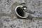 排水穴に巣をかけたシジュウカラ
