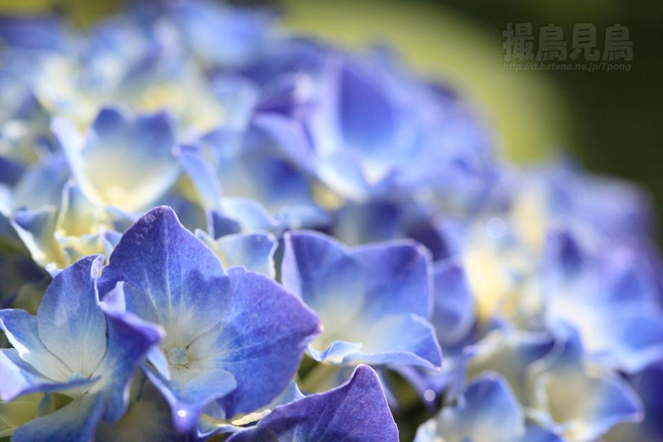 庭の紫陽花2010_a