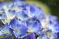 [植物]庭の紫陽花2010_a