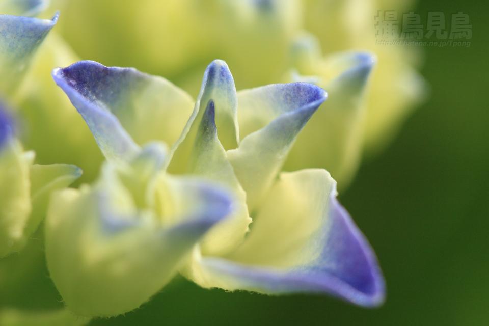 庭の紫陽花2010_b