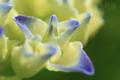 [植物]庭の紫陽花2010_b