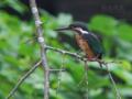[野鳥]カワセミ幼羽♀