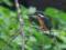 カワセミ幼羽♀