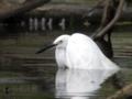 [野鳥]コサギの水浴
