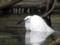 コサギの水浴