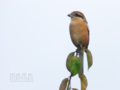 [野鳥]モズの秋