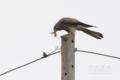 [野鳥]チョウゲンボウ♀カマキリを狩る