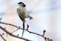 [野鳥]森の軽業師エナガ