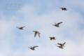 [野鳥][飛翔]オカヨシガモの編隊