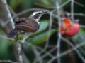 [野鳥]ツグミ♂と塾柿