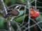 ツグミ♂と塾柿