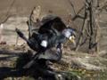 [野鳥]カワウの交尾