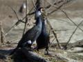 [野鳥]カワウの求愛