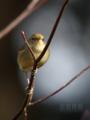 [野鳥]ウグイス