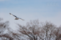 [野鳥][飛翔]セグロカモメ里山を飛ぶ