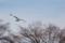 セグロカモメ里山を飛ぶ