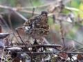 [野鳥]トラツグミ