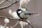 梅林のシジュウカラ♂