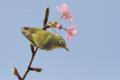 [野鳥][花&メジロ]早咲き桜&メジロ