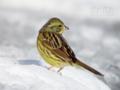 [野鳥]雪上のアオジ♀