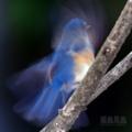 [野鳥]瑠璃の残像 ルリビタキ♂