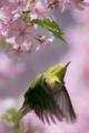 [野鳥][花&メジロ][飛翔]メジロ