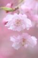 [植物][桜]桜花