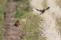 [野鳥][飛翔]カワラヒワ