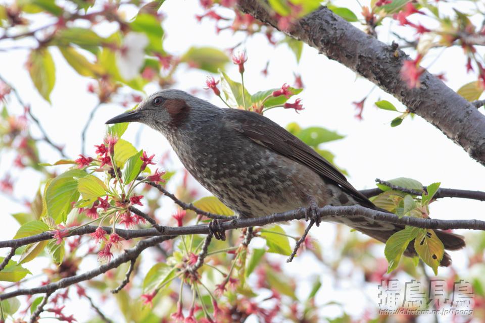 ヒヨドリ未練桜