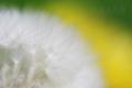 [植物]タンポポ