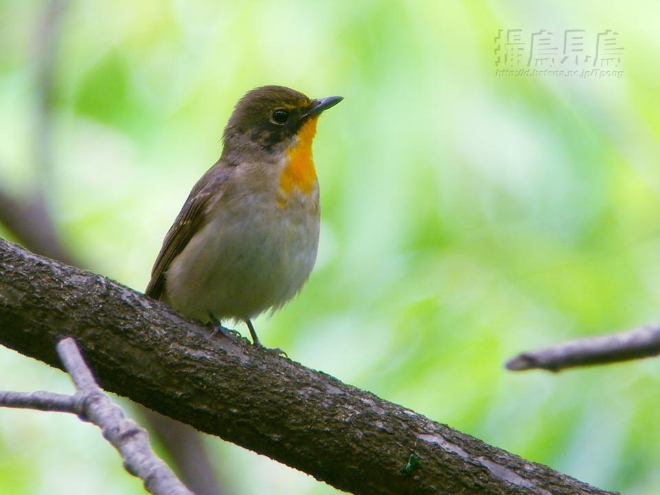キビタキ♂北方亜種