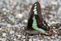[虫]アオスジアゲハの吸水