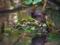 カイツブリ抱卵中