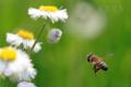 [虫][飛翔]セイヨウミツバチ