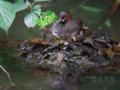 [野鳥]カイツブリ子育て中