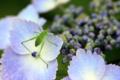 [植物][虫]ガクアジサイとツユムシの幼虫