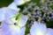 ガクアジサイとツユムシの幼虫