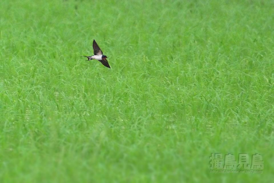 水田をかすめ飛ぶツバメ