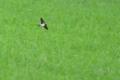 [野鳥][飛翔]水田をかすめ飛ぶツバメ