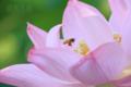 [植物][虫][飛翔]オオガハスとミツバチ